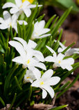 Liten vit blomma Fotografering för Bildbyråer
