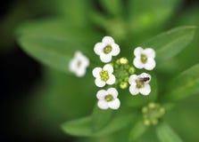 Liten vit blomma med den lilla flugan Arkivbild
