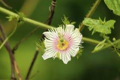 Liten vit blomma med glödtrådar Arkivbild