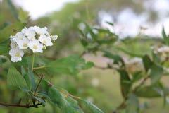 Liten vit blomma med suddig bakgrund royaltyfria bilder