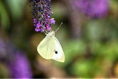 Liten vit fjäril för Pierisrapae, matning som är uppochnervänd på en purpurfärgad fjärilsbuske royaltyfri foto