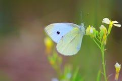 Liten vit fjäril & x28; Pieris Rapae& x29; Arkivfoto