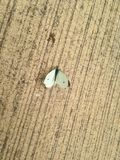 Liten-vit fjäril som sunning sig tillfälligt Royaltyfri Foto