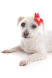 Liten vit hund som ligger vila ner arkivbilder