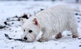 Liten vit hundterrier Arkivbilder