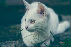 Liten vit kattunge royaltyfria bilder