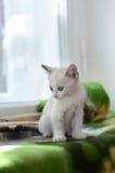Liten vit kattunge på fönsterbrädan Arkivbilder