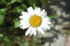 Liten vit och gul nätt blommakamomill Royaltyfri Fotografi