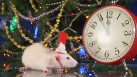 Liten vit tjaller i en julhatt, nära klockan på bakgrunden av julgranen fem minuter till den nya rat'sen stock video