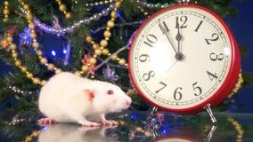 Liten vit tjaller nära klockan på bakgrunden av julgranen fem minuter till rats nya år Symbol av arkivfilmer