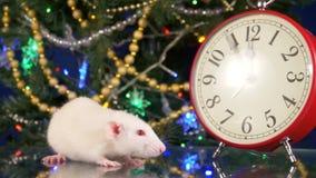 Liten vit tjaller nära klockan på bakgrunden av julgranen fem minuter till rats nya år Symbol av lager videofilmer