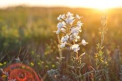 Liten vit vildblomma i de guld- strålarna av solnedgången makrocloseupfoto Arkivfoton