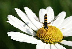 liten wasp arkivfoton