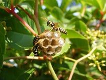 liten wasp för honungskaka Arkivbild