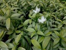 liten white Royaltyfria Foton