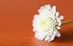 liten white för chrysanthemum Royaltyfri Foto