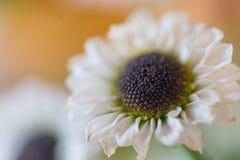 liten white för chrysanthemum Arkivbilder