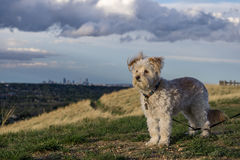 liten white för hund Royaltyfri Fotografi