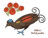 Liten Wilson fågel av paradiset i Australien Exotiska tropiska djura symboler Bruk för att gifta sig, parti inristad hand som in  Arkivbilder