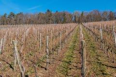 Liten wineyard med rader av vinrankor och skogen royaltyfri fotografi