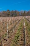 Liten wineyard med rader av vinrankor och skogen arkivbild