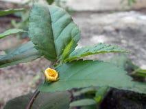 liten yellow för blomma Fotografering för Bildbyråer