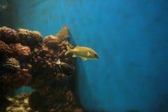 liten yellow för fisk Arkivbild