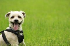 Liten yorkieshih-tzuhund som flåsar i gräs med kopieringsutrymme arkivfoto