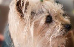 Liten yorkshire hund Arkivbild