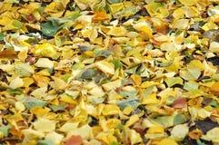 Litera de hojas caducas de la mezcla de hojas caidas del abedul y del álamo del otoño Fondo del otoño Foto de archivo