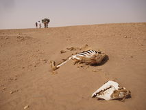 Litera de los huesos del camello donde una caravana pasa Fotografía de archivo libre de regalías