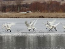 Literally Swan Lake... Swans Dancing on Ice in Winter near McCall, Idaho Stock Photography