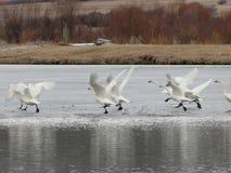 Literalmente lago swan Cisnes que bailan en el hielo en invierno cerca de McCall, Idaho Fotografía de archivo