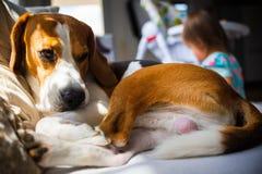 Litet behandla som ett barn flickan med beaglehunden som ligger på soffan arkivfoto