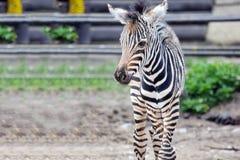 Litet behandla som ett barn gårdfarihandlarens quaggaen Chapmani för sebraequusen arkivbilder