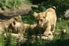 Litet behandla som ett barn lejon som spelar i en zoo Arkivfoton