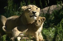 Litet behandla som ett barn lejonet som spelar med dess moder i en zoo Arkivfoto
