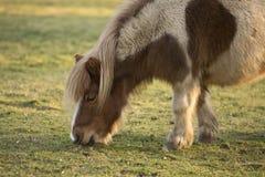 Litet beta för shetland ponny Arkivfoto