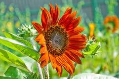 Litet bi med den orange solrosen Fotografering för Bildbyråer