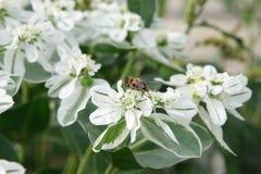Litet bi på blomman Fotografering för Bildbyråer