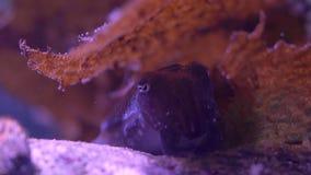 Litet bläckfisknederlag under CS för havsväxtfokushandtag arkivfilmer