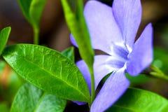 Litet blåttblomma och gräsplanblad Arkivbild