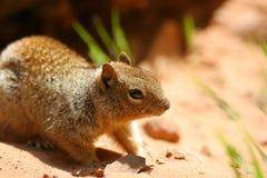 Litet brunt sqirreldjur Royaltyfri Fotografi