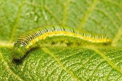 Litet Caterpillar kryp Royaltyfri Fotografi