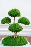 Litet dekorativt klippt träd i en kruka på gatan Arkivfoton
