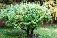 Litet dekorativt träd i trädgården Arkivfoto