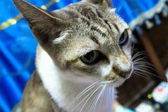 Litet djup för Cat Gray strimmig katt av fältet Royaltyfria Foton