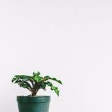 Litet Dorstenia träd i grön kruka Royaltyfri Bild