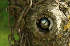 Litet fågelslut upp i ihåligt träd arkivfoto