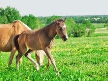 Litet föl av den welsh ponnyn med mamman i grässlätten Arkivbilder